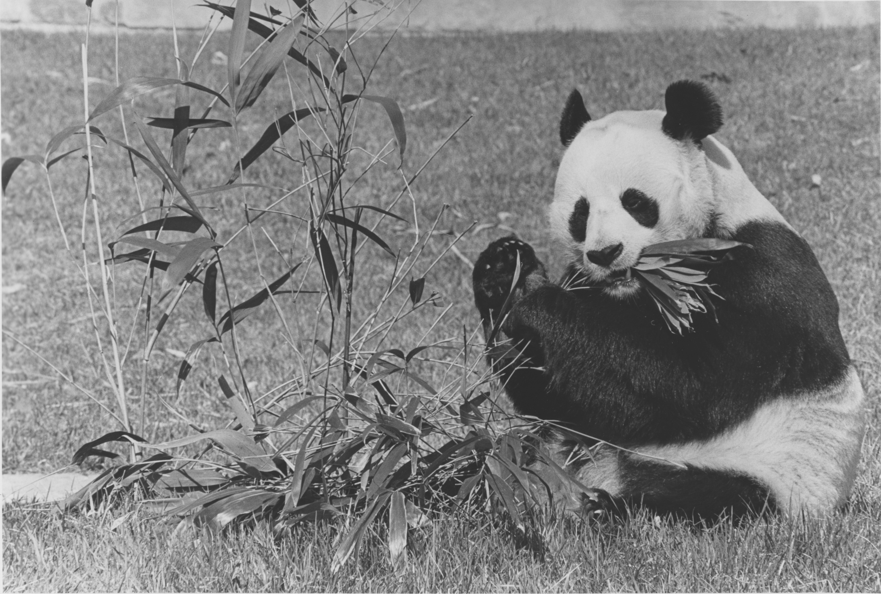 Male giant panda, Hsing-Hsing, eating bamboo at the National Zoo. Local ID: 368-RP-49-4.