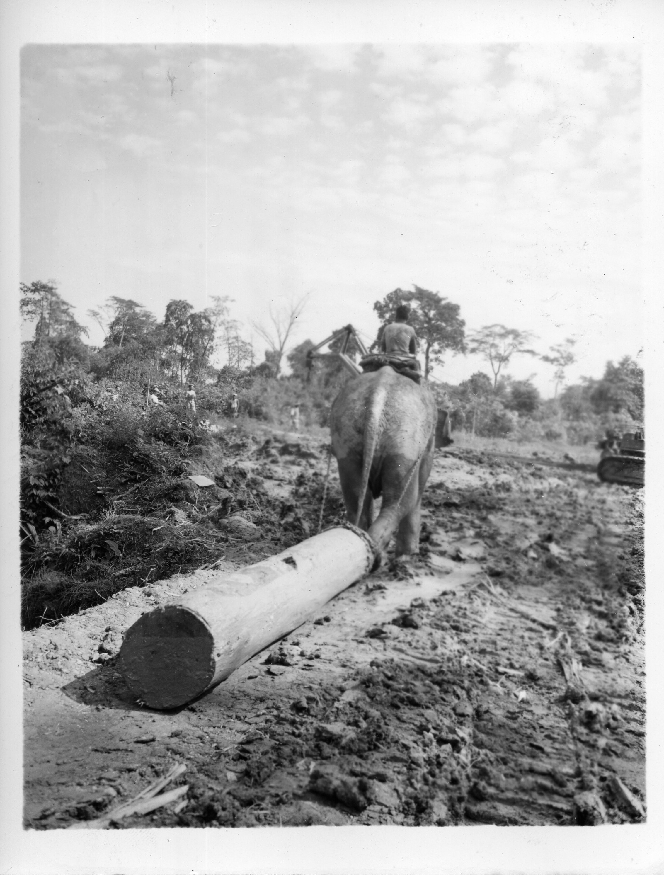 An elephant pulls a log from the swampy jungle to a loading area beside the Ledo Road in Assam, India. There the logs are loaded on a truck and hauled to a sawmill five miles away. 18 October 1944.