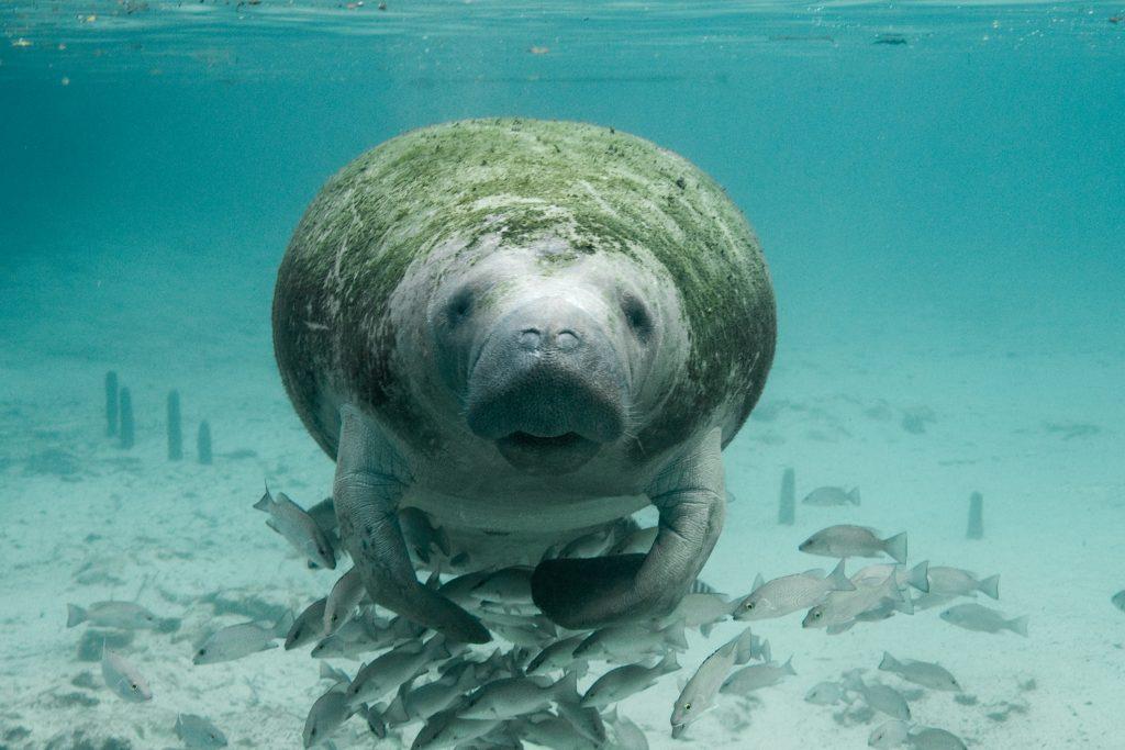 Manatee swims near Crystal River National Wildlife Refuge