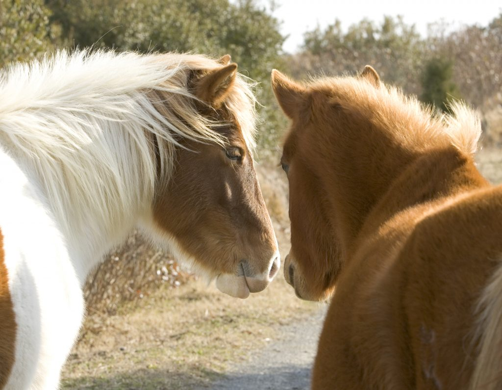 Two wild horses stand closely together.