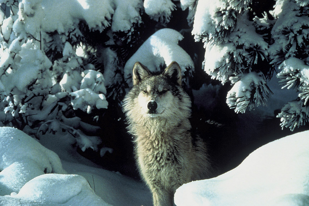 An endangered gray wolf peers out from a snow covered shelter.