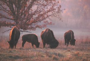 Bison Grazing in the South Bison Range